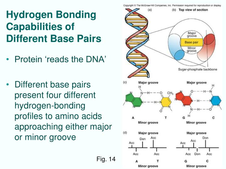 Hydrogen Bonding Capabilities of  Different Base Pairs