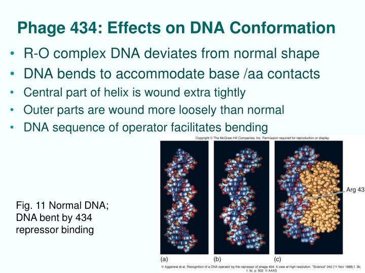 Phage 434: Effects on DNA Conformation