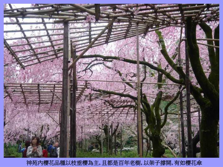 神苑內櫻花品種以枝垂櫻為主