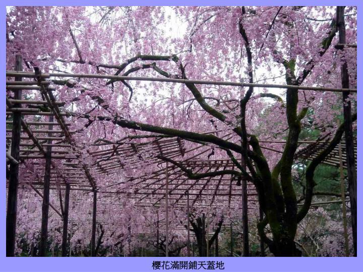 櫻花滿開鋪天蓋地