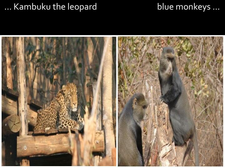 ... Kambuku the leopard                                blue monkeys ...
