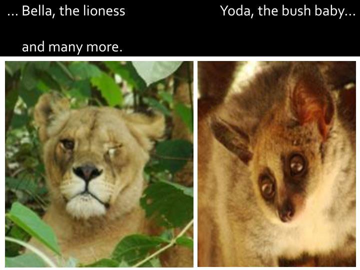 ... Bella, the lioness                                Yoda, the bush baby...