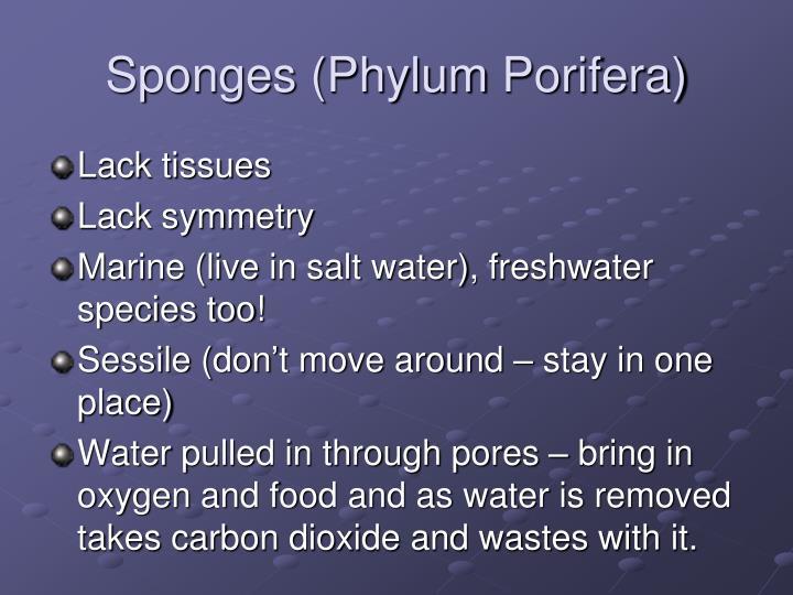 Sponges (Phylum