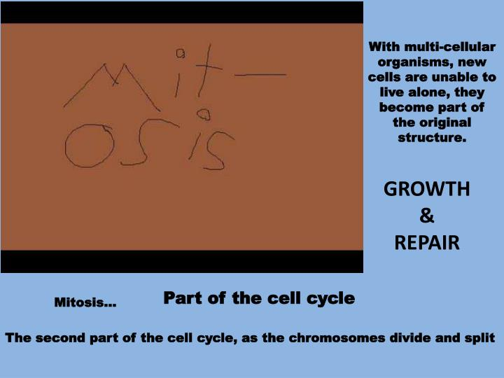 With multi-cellular organisms, new cells are unable to live alone, they become part of the original structure.