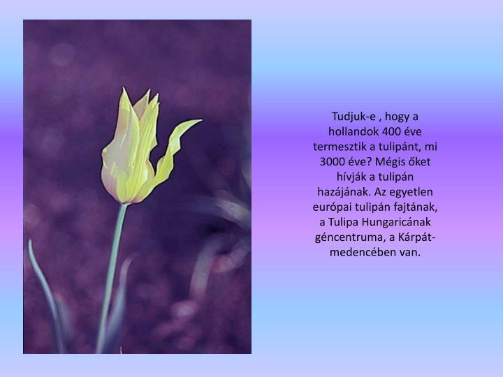 Tudjuk-e , hogy a hollandok 400 ve termesztik atulipnt, mi 3000 ve? Mgis ket hvjk a tulipn hazjnak. Az egyetlen eurpai tulipn fajtnak, a Tulipa Hungaricnak gncentruma, a Krpt-medencben van.
