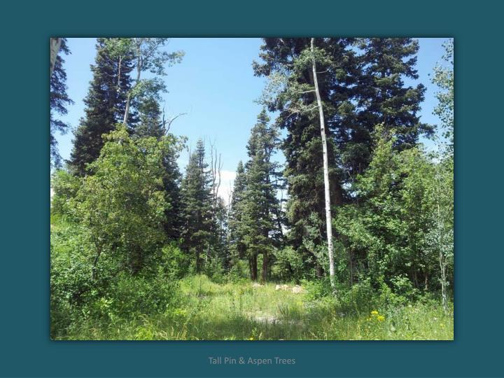 Tall Pin & Aspen Trees