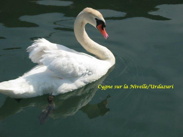 Cygne sur la Nivelle/Urdazuri