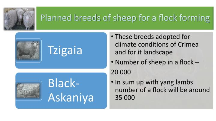 Planned breeds of sheep for a flock forming