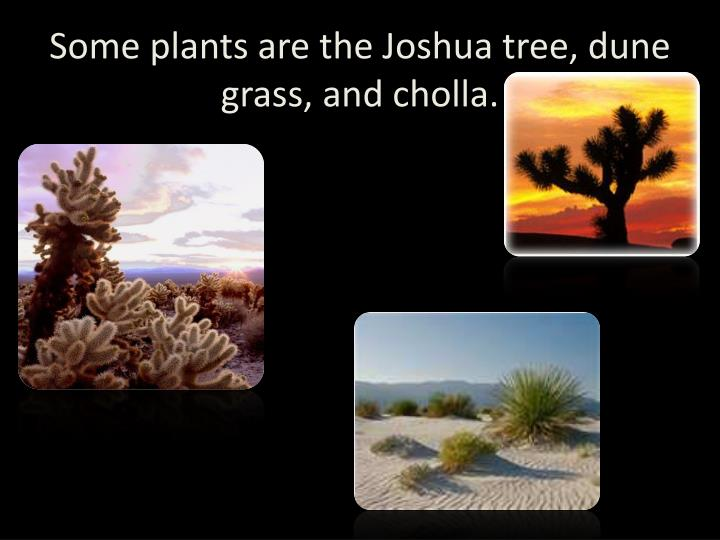 Some plants are the Joshua tree, dune grass, and