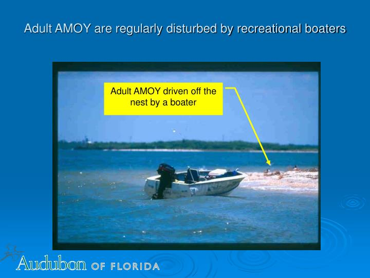 Adult AMOY are regularly disturbed by recreational boaters