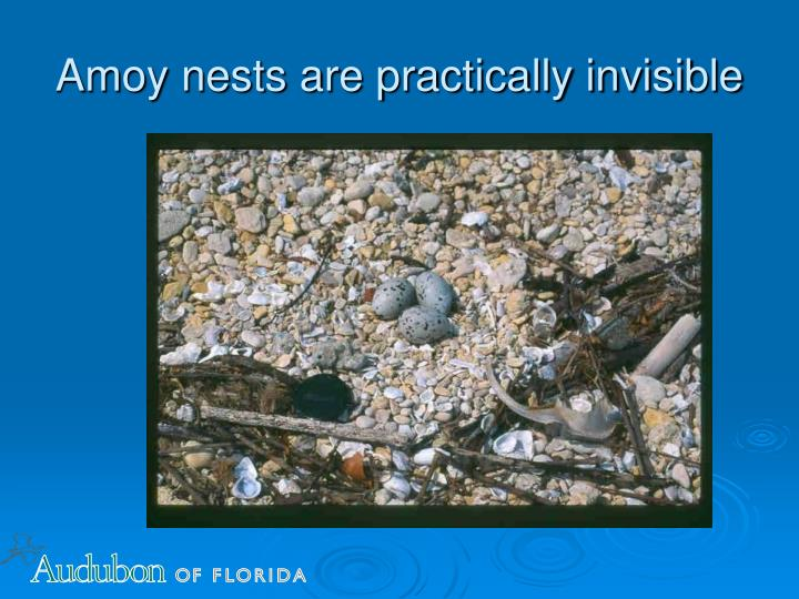 Amoy nests are practically invisible