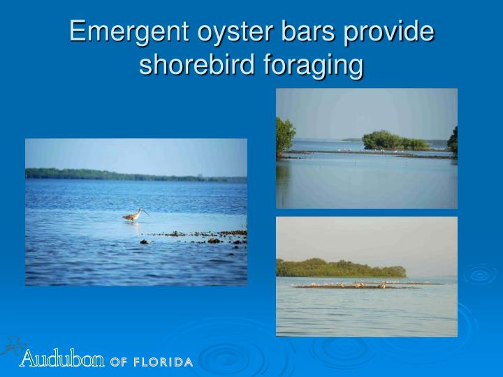 Emergent oyster bars provide shorebird foraging