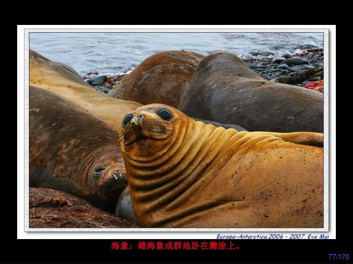 海象:雌海象成群地卧在灘涂上。