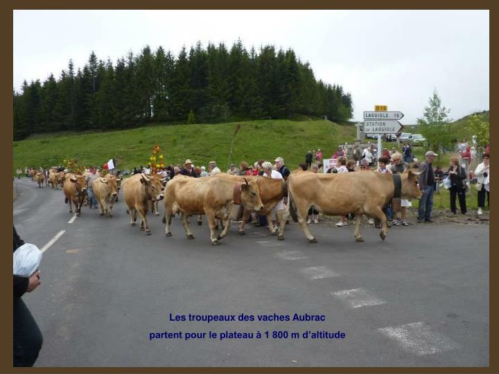 Les troupeaux des vaches Aubrac