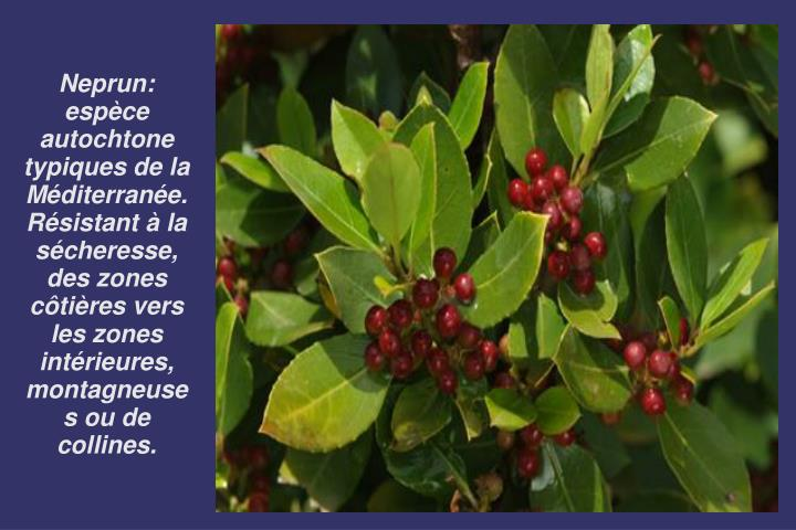 Neprun:  espèce autochtone typiques de la Méditerranée. Résistant à la sécheresse, des zones côtières vers les zones intérieures, montagneuses ou de collines.
