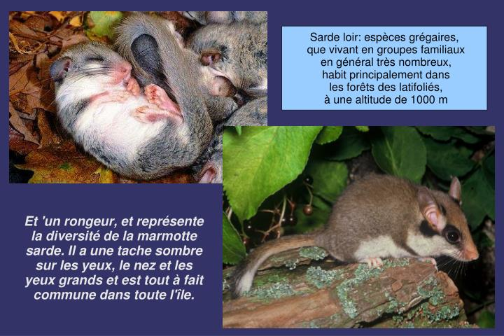 Et 'un rongeur, et représente la diversité de la marmotte sarde. Il a une tache sombre sur les yeux, le nez et les yeux grands et est tout à fait commune dans toute l'île.