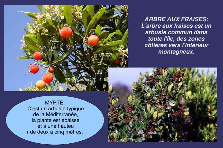 ARBRE AUX FRAISES: L'arbre aux fraises est un arbuste commun dans toute l'île, des zones côtières vers l'intérieur montagneux.