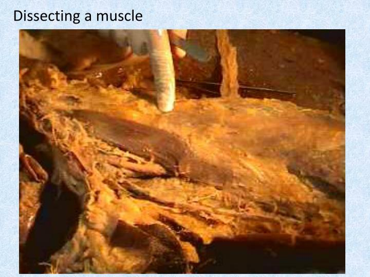 Dissecting a muscle