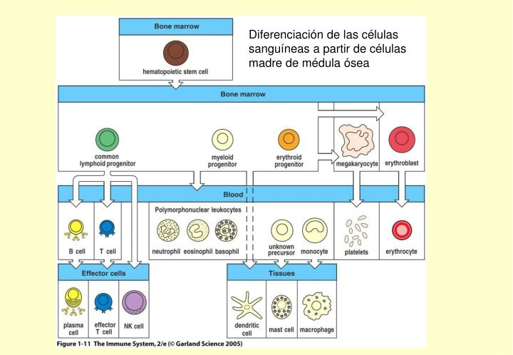 Diferenciación de las células sanguíneas a partir de células madre de médula ósea