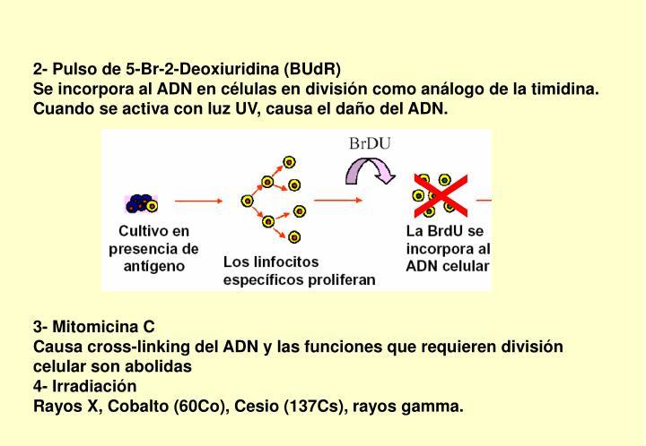 2- Pulso de 5-Br-2-Deoxiuridina (BUdR)