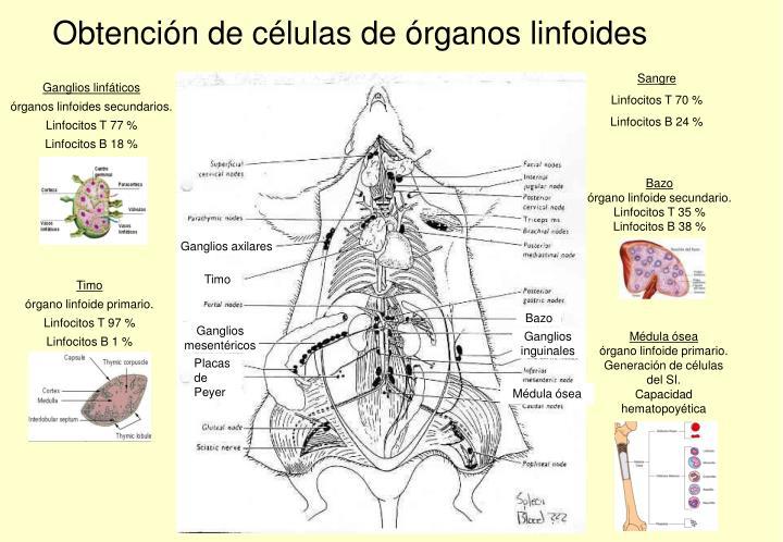 Obtención de células de órganos linfoides