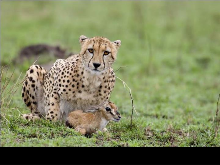 Un guépard s'amuse en Afrique
