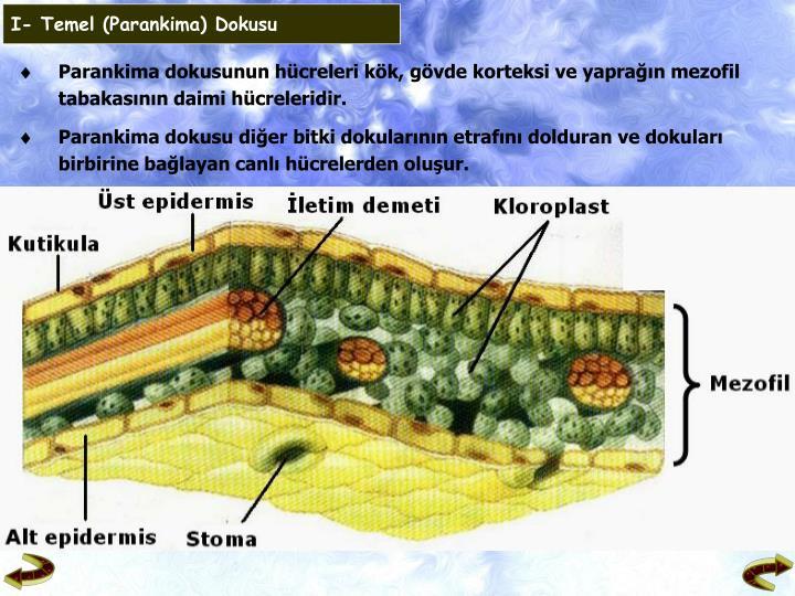 I- Temel (Parankima) Dokusu