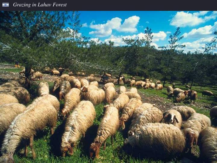 Grazing in Lahav Forest