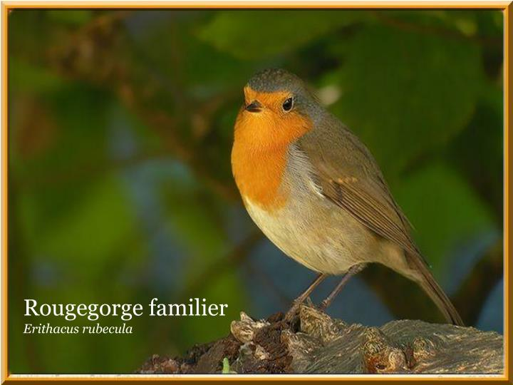 Rougegorge familier