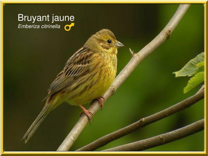 Bruyant jaune