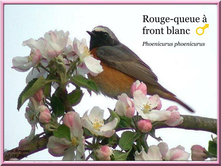 Rouge-queue à front blanc