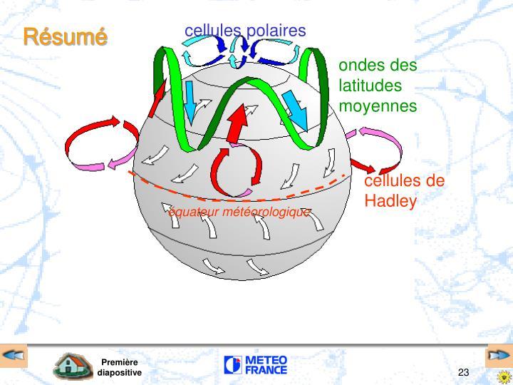 cellules polaires