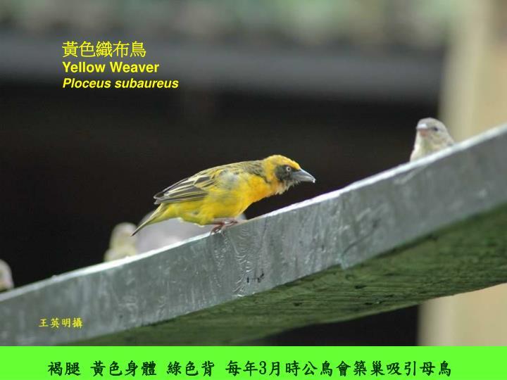 黃色織布鳥