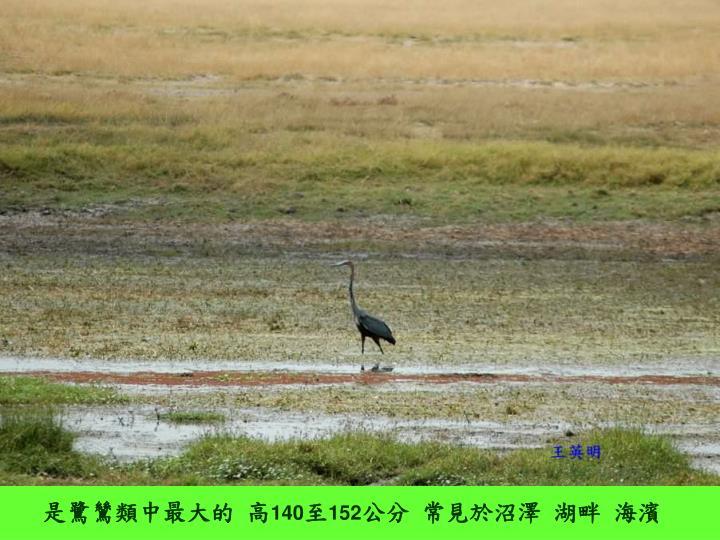 是鷺鷥類中最大的 高