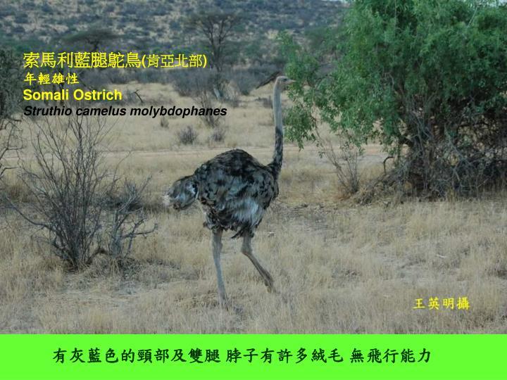 索馬利藍腿鴕鳥