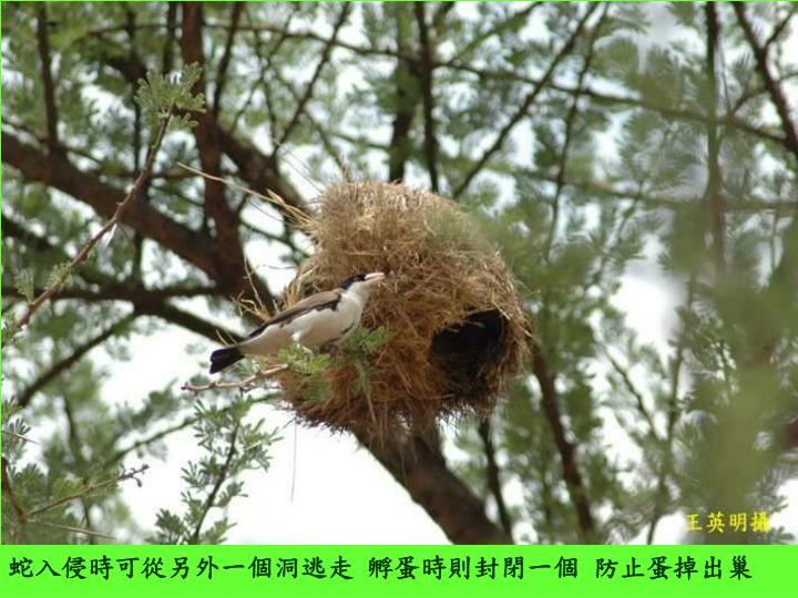 蛇入侵時可從另外一個洞逃走 孵蛋時則封閉一個 防止蛋掉出巢