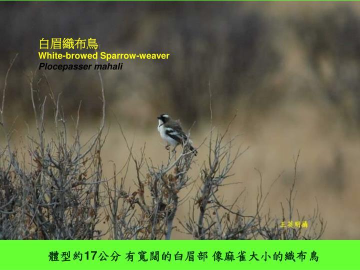 白眉織布鳥