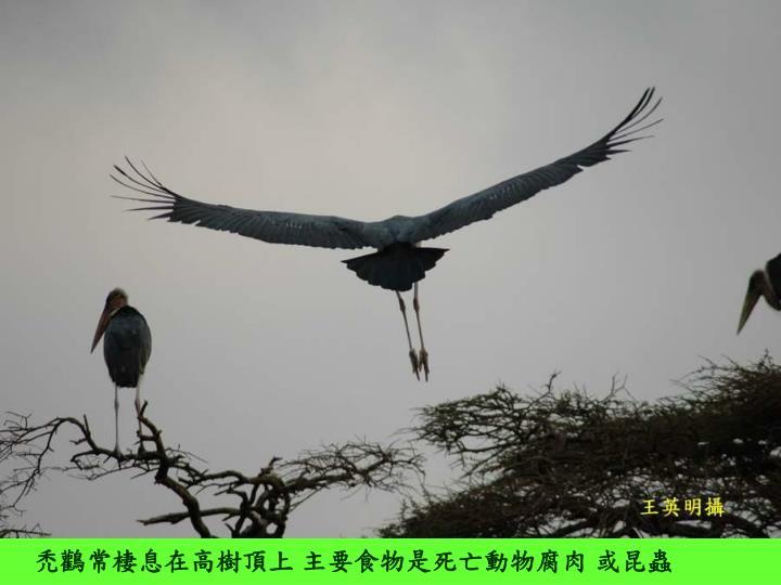 禿鸛常棲息在高樹頂上 主要食物是死亡動物腐肉 或昆蟲
