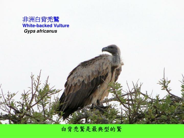 非洲白背禿鷲