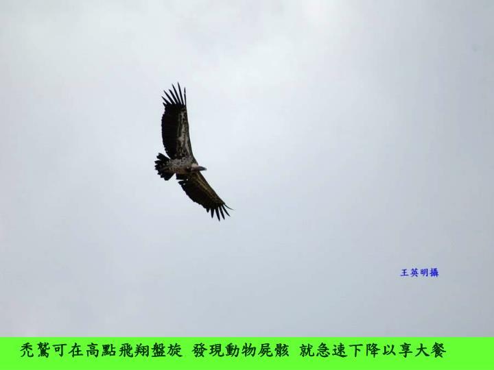 禿鷲可在高點飛翔盤旋 發現動物屍骸 就急速下降以享大餐