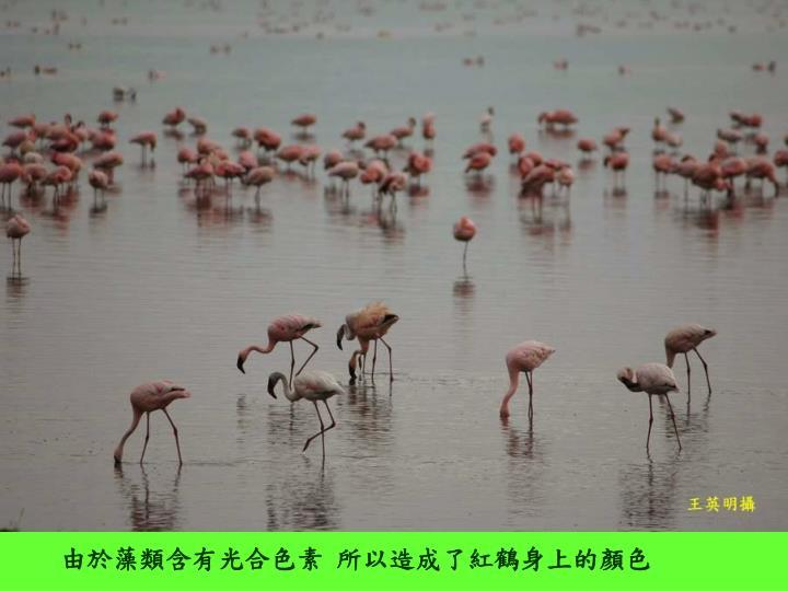 由於藻類含有光合色素 所以造成了紅鶴身上的顏色