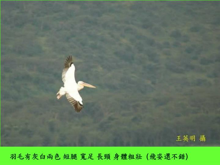 羽毛有灰白兩色 短腿 寬足 長頸 身體粗壯