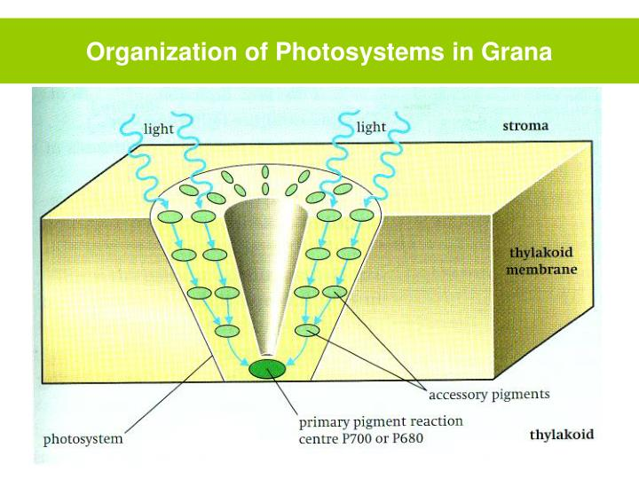 Organization of Photosystems in Grana