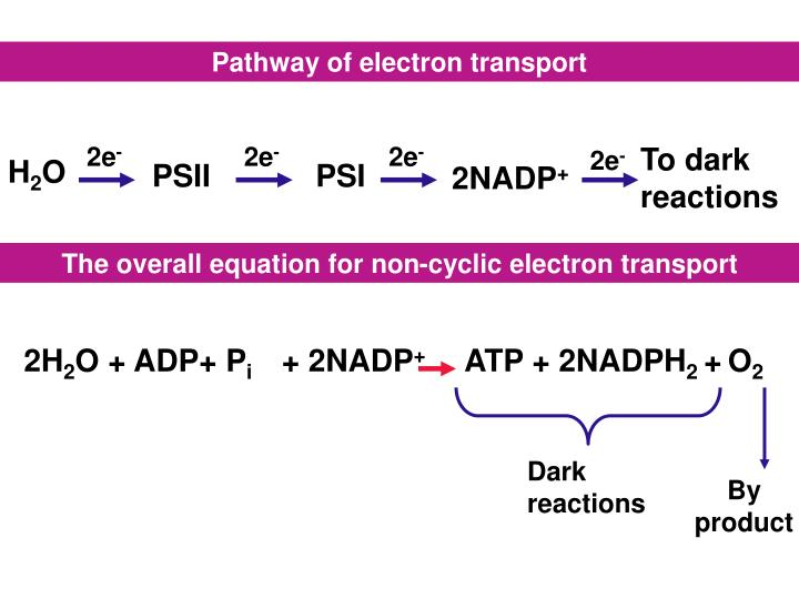 Pathway of electron transport