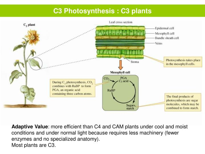 C3 Photosynthesis : C3 plants
