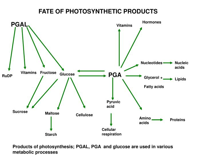 FATE OF PHOTOSYNTHETIC PRODUCTS