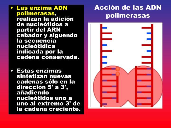Acción de las ADN polimerasas