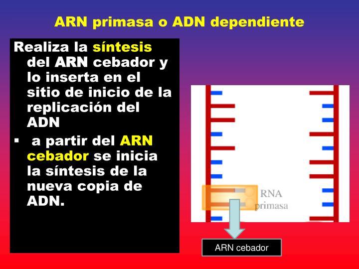 ARN primasa o ADN dependiente
