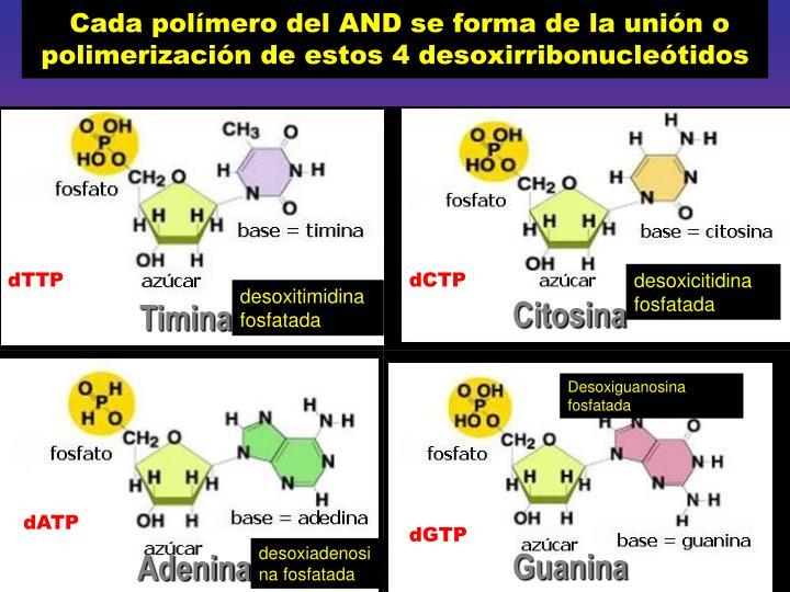 Cada polímero del AND se forma de la unión o polimerización de estos 4 desoxirribonucleótidos