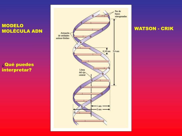 MODELO MOLÉCULA ADN
